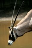 Antelope wild animal Royalty Free Stock Photos