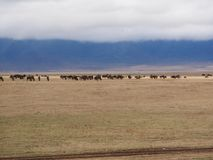 Antelope wildebees on safari in Tarangiri-Ngorongoro Royalty Free Stock Image