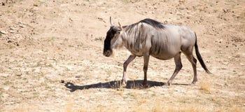 Wildebeest in the park Stock Photo