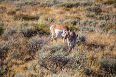 Antelope in Wildlife. Buck pronghorn antelope standing in grass, southwest Wyoming Royalty Free Stock Images