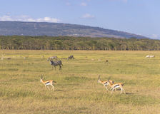 Antelope and zebra. In Amboseli National Park in Kenya Stock Photo