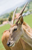 Antelope in a zoo Stock Image