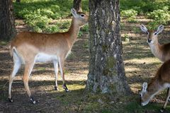 Antelope in the zoo. An African animal locked in a cage. Season of the spring stock photography
