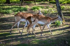 Antelope in the zoo. An African animal locked in a cage. Season of the spring royalty free stock image