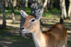 Antelope in the zoo. An African animal locked in a cage. Season of the spring royalty free stock photography