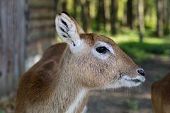 Antelope in the zoo. An African animal locked in a cage. Season of the spring stock image