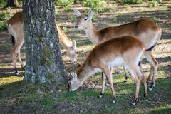 Antelope in the zoo. An African animal locked in a cage. Season of the spring stock photo
