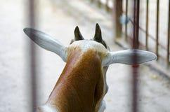 Antelope in zoo Kiev (Ukraine). Antelope in zoo Kiev (Ukraine royalty free stock images