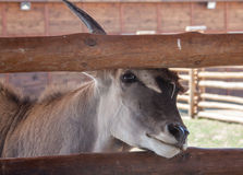Antelope in zoo Stock Photography