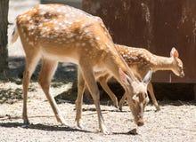Antelope in zoo Stock Image