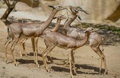 Antelope, Zoo Series, nature, animal Royalty Free Stock Images