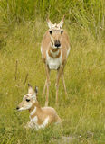 Antelopes. Mother and Cub Antelopes on Forest royalty free stock photography