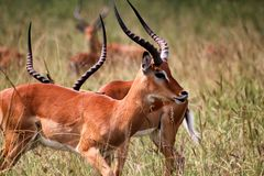 Antelopes Stock Images