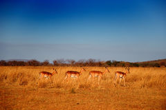 Antelopes Royalty Free Stock Photography