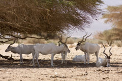 Antelopes. Herd of addax nasomaculatus antelopes on desert Stock Images