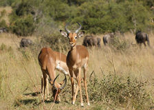 Antelopes in Botswana Stock Photos