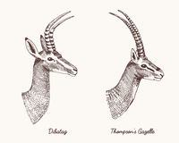 Antelopes dibatag and thompsons gazelle vector hand drawn illustration, engraved wild animals with antlers or horns Royalty Free Stock Photos