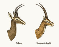 Antelopes dibatag and thompsons gazelle vector hand drawn illustration, engraved wild animals with antlers or horns Royalty Free Stock Photo