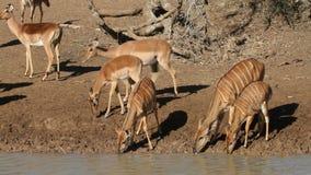 Antelopes drinking water Stock Photo