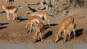 Antelopes drinking water Stock Photo