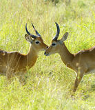 Antelopes fight one against the other Stock Photo