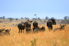 Antelopes Gnu Royalty Free Stock Image