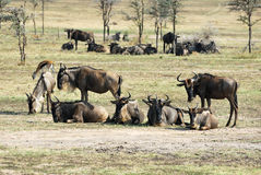 Antelopes gnu Stock Images