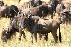 Antelopes Gnu. Antelope Gnu in  the Masai Mara Reserve (Kenya Stock Image