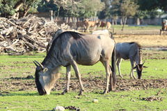 Antelopes gnu Royalty Free Stock Image