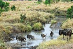 Antelopes gnu (wildebeest), Kenya Stock Images