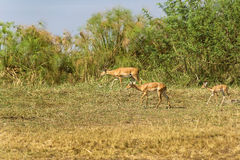 The antelopes going around their habitats. The antelopes going around look for a proper place to graze for themselves Stock Photo