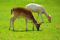 Antelopes grazing. Two antelopes grazing on green grass outdoors Stock Photography