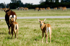 Antelopes on green grass Royalty Free Stock Photos