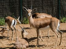 Antelopes Stock Photography