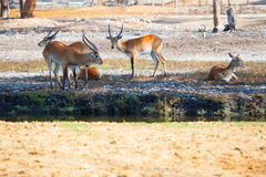 Antelopes having a rest in a park Stock Image