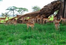 Antelopes. Herd of wild antelopes on the grassland, TarangireNationalPark royalty free stock photo