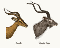 Antelopes impala and greater kudu vector hand drawn illustration, engraved wild animals with antlers or horns vintage. Looking heads side view Stock Image