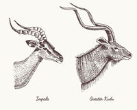 Antelopes impala and greater kudu vector hand drawn illustration, engraved wild animals with antlers or horns vintage. Looking heads side view Stock Photos