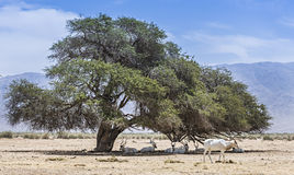 Antelopes addax in Israeli nature reserve Royalty Free Stock Image