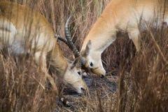 Antelopes Locking Horns Stock Photography