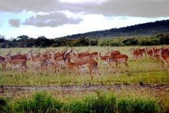 Antelopes in Maasaimara Kenya Stock Photo