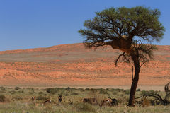 Antelopes in the Namib desert Royalty Free Stock Photo