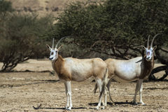 Antelopes in nature reserve Stock Image