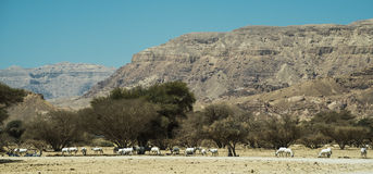Antelopes in nature reserve, Eilat Royalty Free Stock Photo
