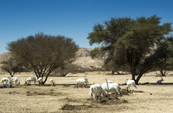 Antelopes(Oryx leucoryx) in Negev Stock Photos