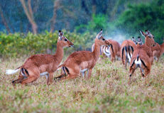 Antelopes during a rain, african savanna Stock Photos