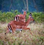 Antelopes during a rain, african savanna Stock Photography