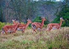 Antelopes during a rain, african savanna Stock Images