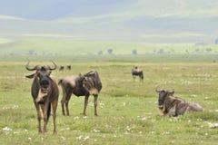 Antelopes on rest. Royalty Free Stock Photo