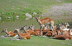 Antelopes  resting Royalty Free Stock Photos